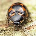 Odd Lady Beetle - Harmonia axyridis