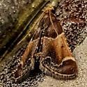Small Moth - Pyralis farinalis