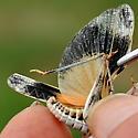 Grasshopper with blue tibia - Metator pardalinus - male