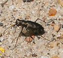 Tiger Beetle [Cicindela? punctulata??] ID Request - Cicindelidia punctulata