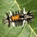 Milkweed Tussock Caterpillar - Hodges #8238 - Euchaetes egle