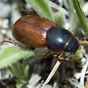 Dung Beetle - Aphodius corruptor