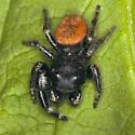 Black & Orange Spider - Phidippus johnsoni - male