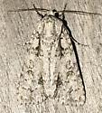 Acronicta - Acronicta clarescens
