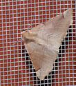 IMG 8154 - Caripeta triangulata