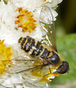bee fly - Villa - male