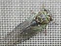 Linne's Cicada - Neotibicen linnei