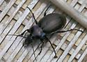 Query Stag Beetle - Carabus nemoralis