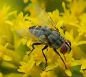 Flies Pollinating Gray Goldenrod - Senotainia