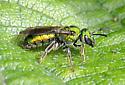 Pure Green Augochlora - Augochlora pura