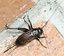 Field Cricket - Gryllus rubens - female