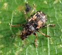 fungus weevil - Trigonorhinus sticticus