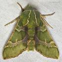 Bear Sphinx Moth - Proserpinus lucidus - male