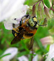 Another Strange Xylocopa from Florida - Xylocopa micans - male