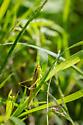 Grasshopper with very long antennae - Conocephalus - female