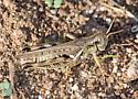 Grasshopper - Melanoplus devastator - male