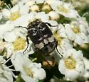 beetle  - Valgus hemipterus