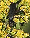Pompillidae ? - Anoplius - female