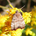 Moth - Choreutis pariana