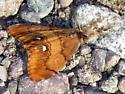Rusty Tussock Moth - Orgyia antiqua - male