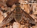 Bee Fly - Poecilanthrax