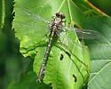unidentified dragonfly999640 - Stylurus scudderi