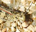 grasshopper, spotted with dark red wings - Trachyrhachys kiowa - male