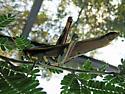 Large Grasshopper ID? - Schistocerca albolineata - female