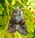 Rusty Shoulder-knot Moth - Apamea sordens