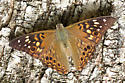 Painted Lady? - Asterocampa celtis