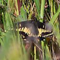 Desert Black Swallowtail in LA County - Papilio polyxenes