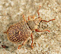weevil - Cathormiocerus aristatus
