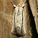 Moth - Catabenoides terminellus - female