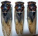 Tibicen lyricen form lyricen (western f. lyricen)  - Neotibicen lyricen