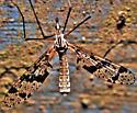 Tanyderidae? - Protanyderus vipio - female