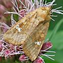 Moth on Joe-Pye-Weed - Amphipoea americana