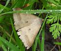 moth - Mocis marcida