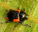 case-bearing leaf beetle - Cryptocephalus notatus