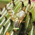Fruit Fly  - female