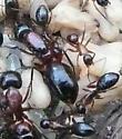 Antz - Camponotus texanus