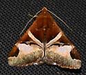 Please help us to identify this moth. - Melipotis fasciolaris
