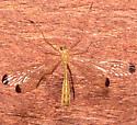Hangingfly - Hylobittacus apicalis