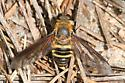 Bee Fly - Anthracinae - Exoprosopa fasciata