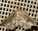 Unidentified Moth 3 - Pangrapta decoralis
