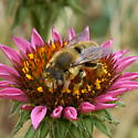 Another osmia sp.? - Megachile perihirta