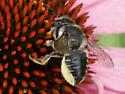 Unidentified Insect 2011 9 - Megachile mendica - female