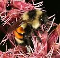 ID help please - Bombus ternarius - female