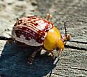 Leaf Beetle - Blepharida rhois