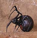 Mature Large Female Southern Black Widow - Latrodectus mactans - female