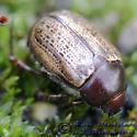 Beetle 01 - Anomala foraminosa
